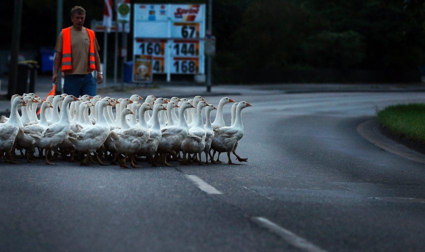 this man in Duisburg, Germany is tending to a flock of 150 geese as they cross a street in the city. The geese enjoy an outdoor enclosure during the day and move back to their night accomodation during the evening. These frolicking fowl are surely enjoying warm temperatures outdoors this week. But the young geese, hatched in May, will lead short lives. They are to be slaughtered for the traditional Christmas dinner.