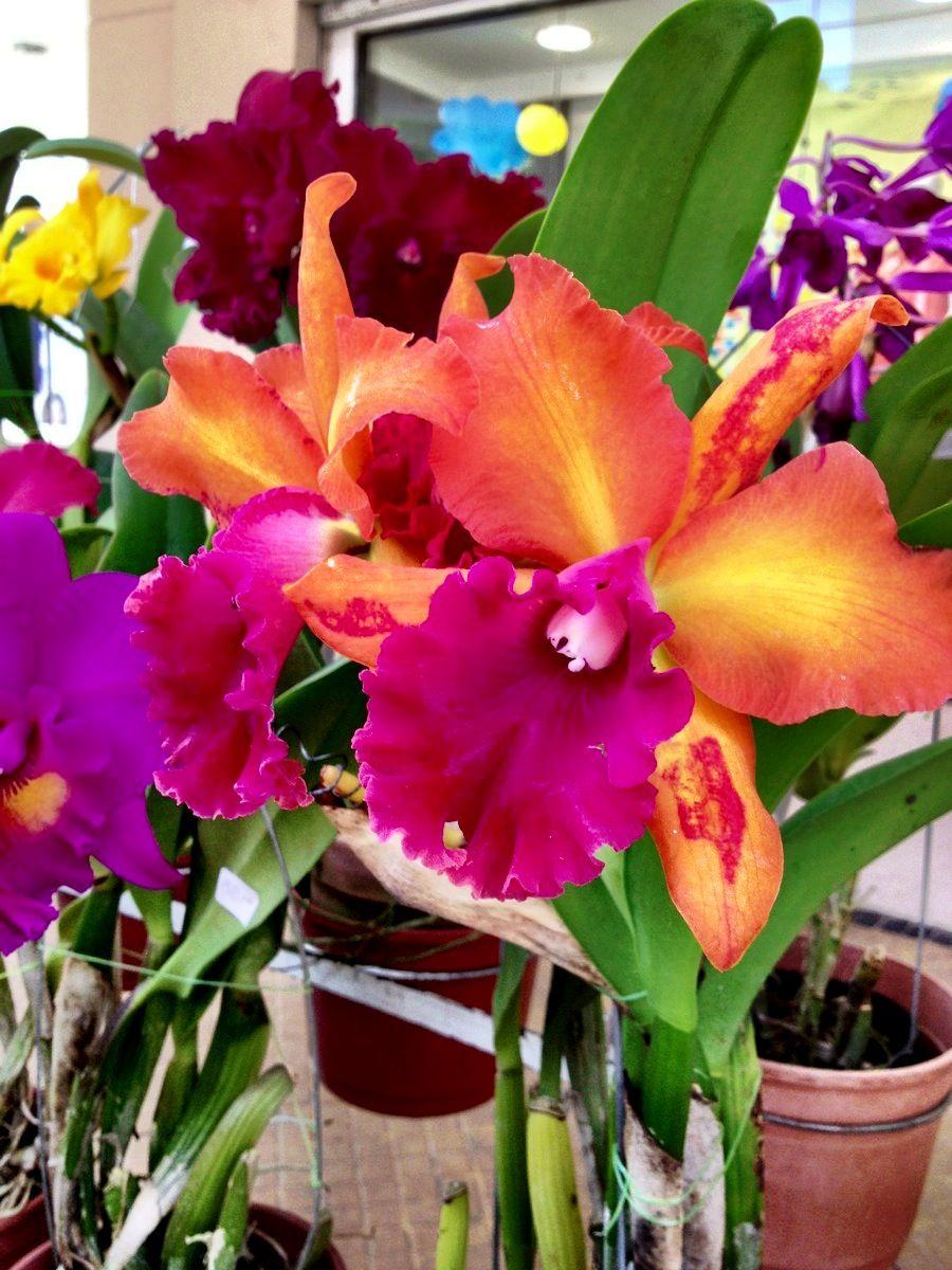 Orquídeas de Paraguayn Beautiful orchids, Floral, Orchids