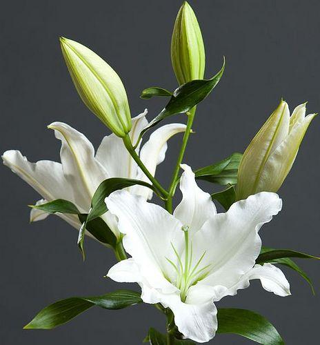 Rialto Lily Flower Lily Plants Bulb Flowers