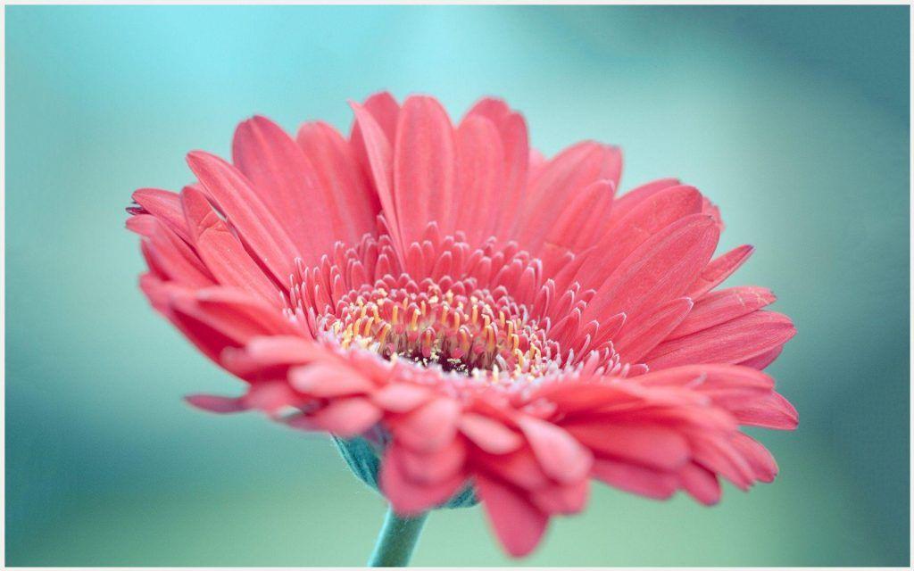 Gerbera Flower Wallpaper Gerbera Daisy Wallpaper Border Gerbera Daisy Wallpaper Free Gerbera Flower Wallpaper Pink Daisy Wallpaper Gerbera Flower Gerbera