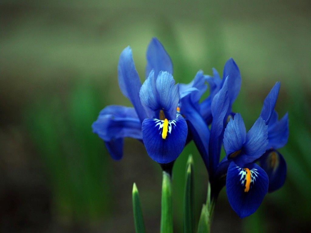 Pin By Amanda Bachman On Flowers Iris Flowers Blue Iris Flowers Purple Iris