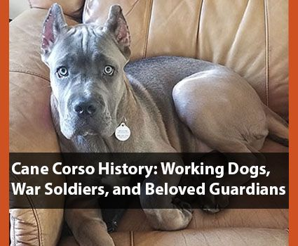 Cane Corso Breed History Working Dogs, War Soldiers, Beloved Guardians is part of Cane Corso Breed History Working Dogs War Soldiers Beloved - The Cane Corso breed history is one of the richest and spans 1000s of years  They are AKC's (American Kennel Club) 40th popular dog breed in the U S