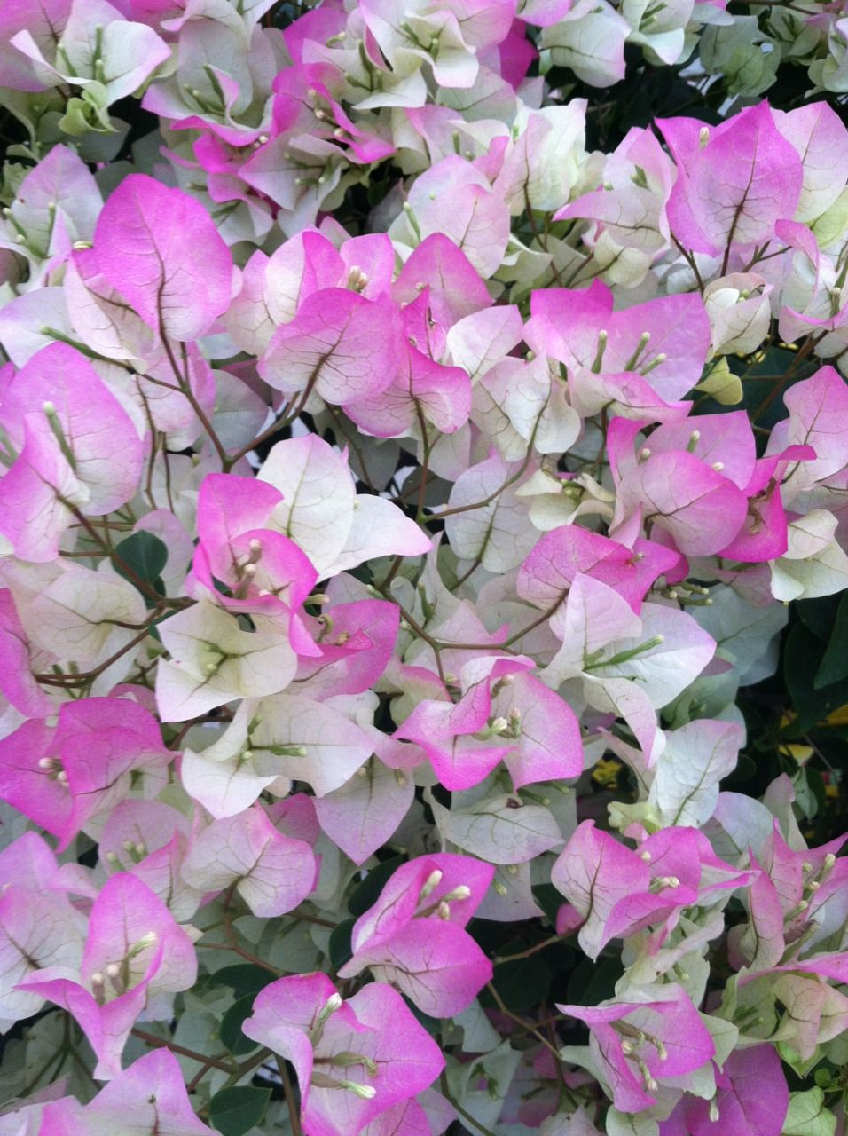 Bougainvillea Variegated Pink White