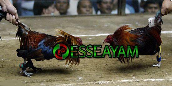 Permainan Chicken