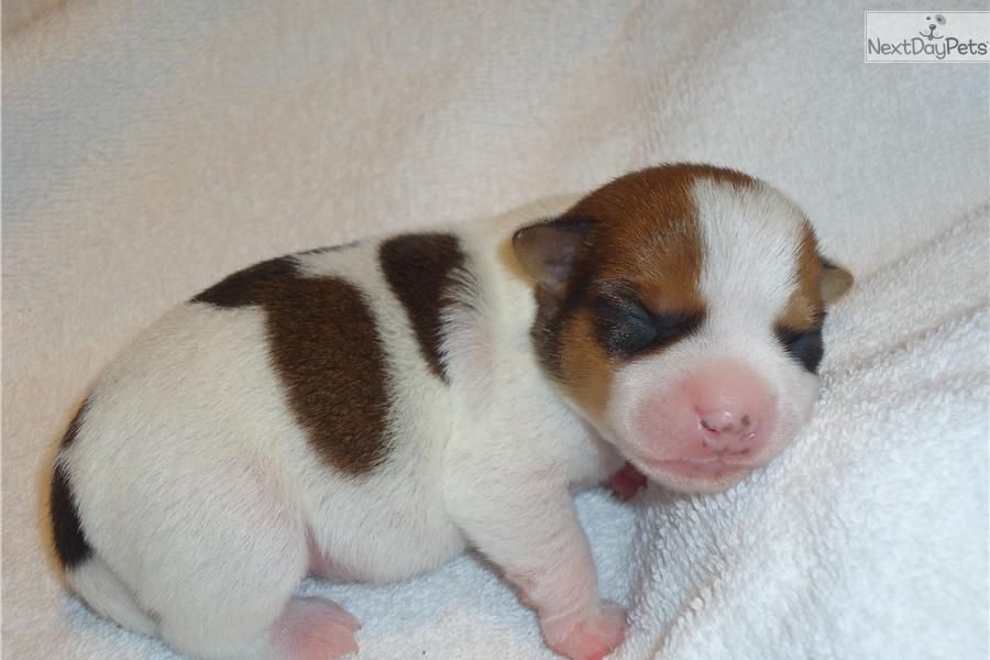 Meet Elle A Cute Jack Russell Terrier Puppy For Sale For 300