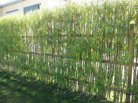 Piante Per Recinzioni Giardino.Schermatura Da Giardino Con Piante Di Bamboo Coltivare