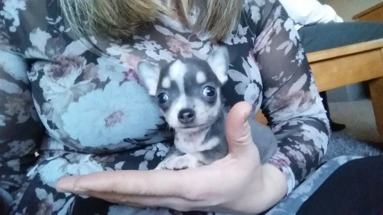 Chihuahua Puppies Pure Breed Worcester Worcestershire