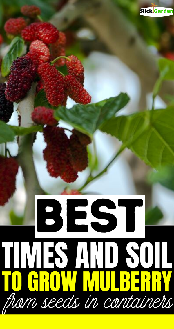 Best Time And Soil To Grow Mulberry From Seeds In Containers Mulberry Plants In Pots Mulberry Plant Grafting Plants Mulberry Tree