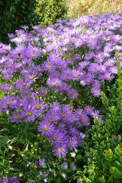 Flowers: Three Violet-White Asters - Stock Image I2342564