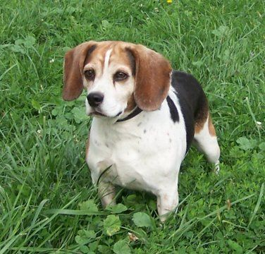 Classic Tri Beagle Http Www Crbeagles Com Misc Beagle Colors