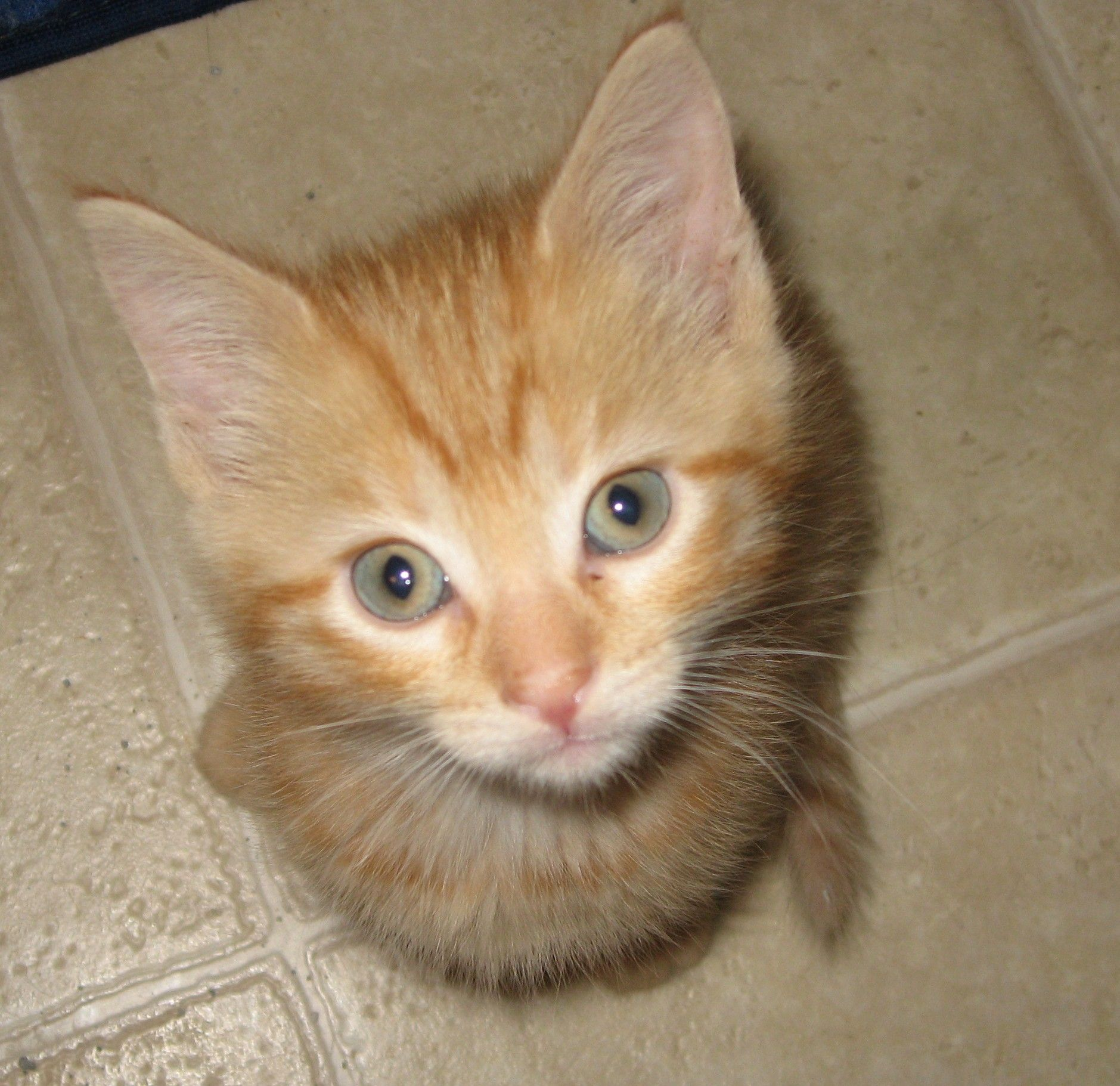 This is Sunshine Sunshine is a female 8 week old Orange Tabby
