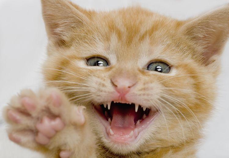 Kitten Dental Care Basics Cat Facts Kittens Kittens And Puppies