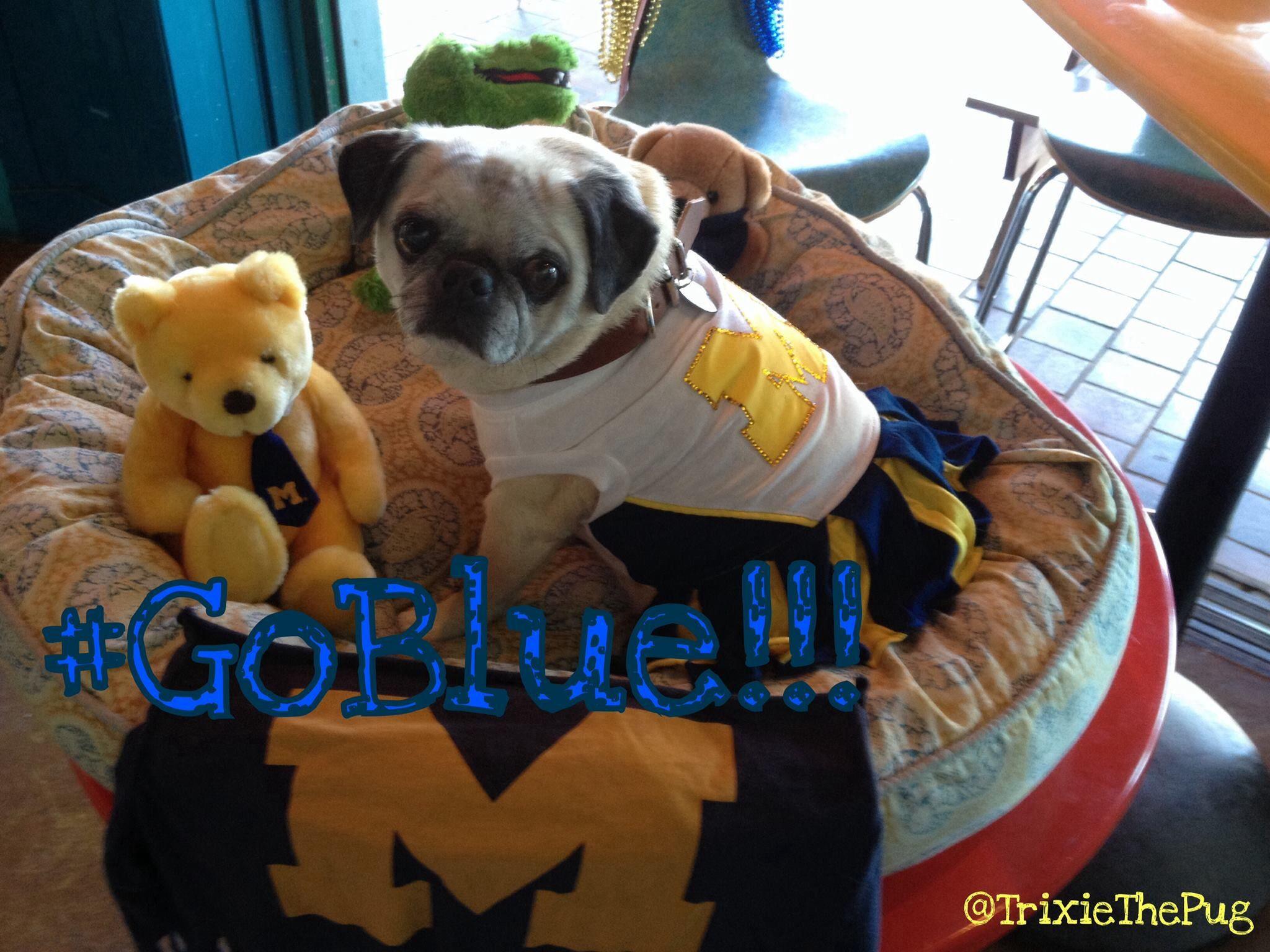 Trixiethepug Official Mascot For University Of Michigan Alumni