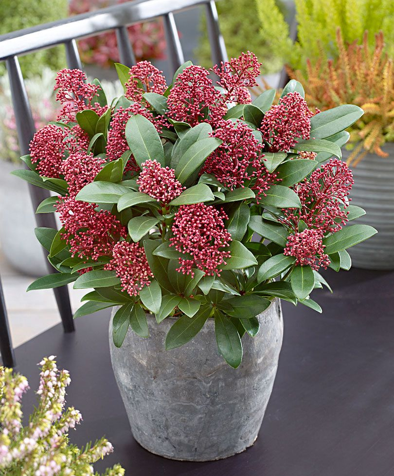 Top 10 Wonderful Plants For Small Containers Skimmia Japonica
