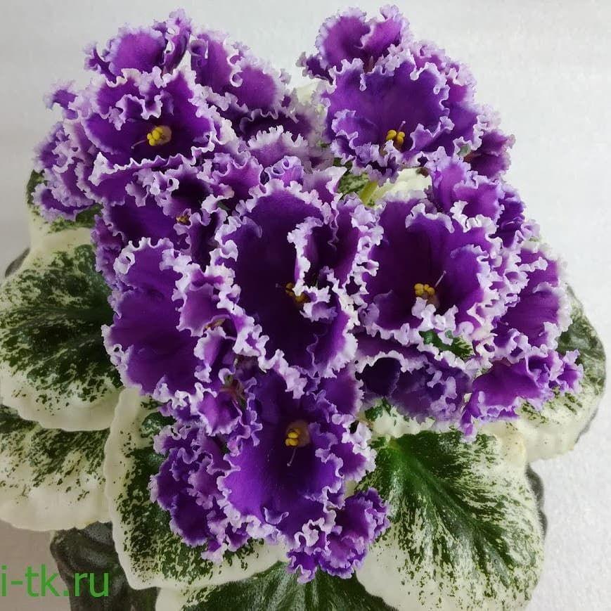 Great Variegation Grown By Fialki Tk Volgograd Dn Iunaia Frantsuzhenka African Violets Saintpaulia Pretty Plants