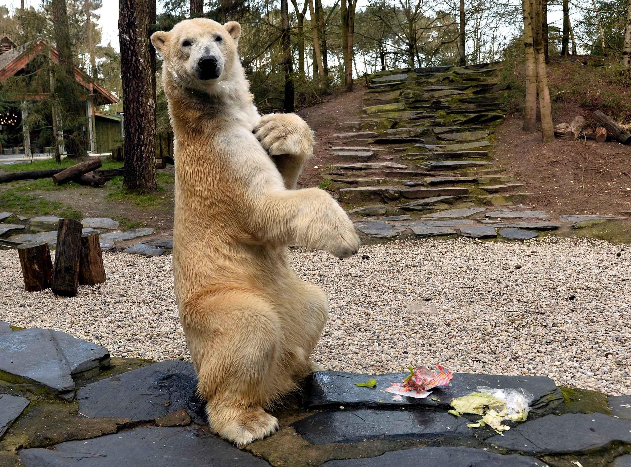 l 39 ours polaire du zoo de la fl che a re u un cadeau pour. Black Bedroom Furniture Sets. Home Design Ideas