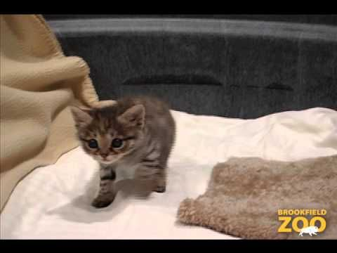 Brookfield Zoo Black Footed Kitten Bonanza Black Footed Cat Cute Baby Animals Baby Animals Pictures