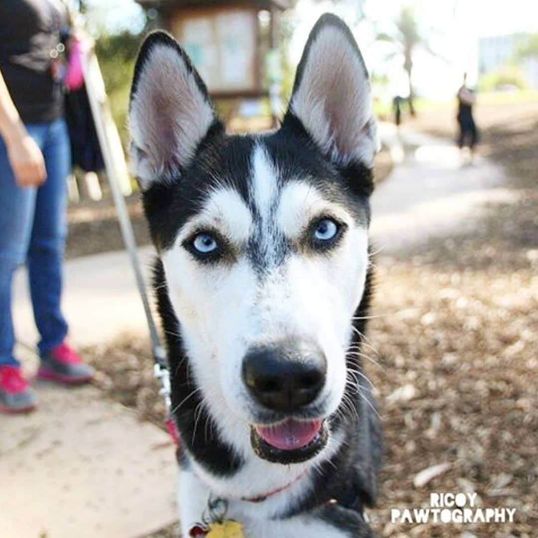 Cali, Siberian Husky, Balboa Park [Dogumented May 5, 2016