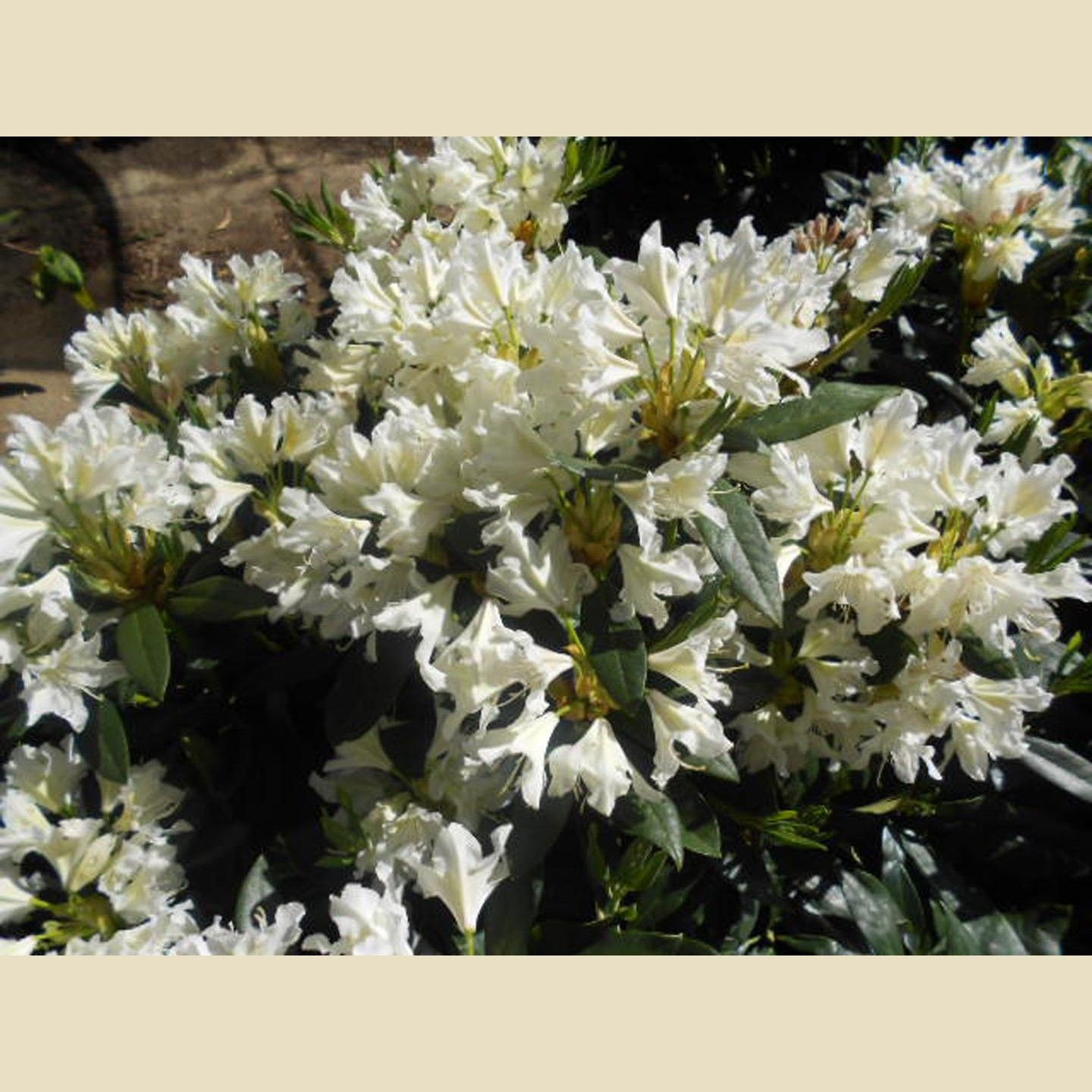 Rhododendron White - Deer Resistant - Screen - Boething Treeland Farms