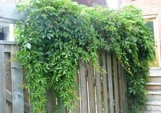 Outdoor Magic The Glory Of Vines Flowers Fast Growing