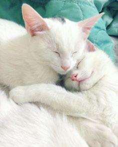 gatas gemeas olhos heterocromáticos (9) at - Catsincare.com