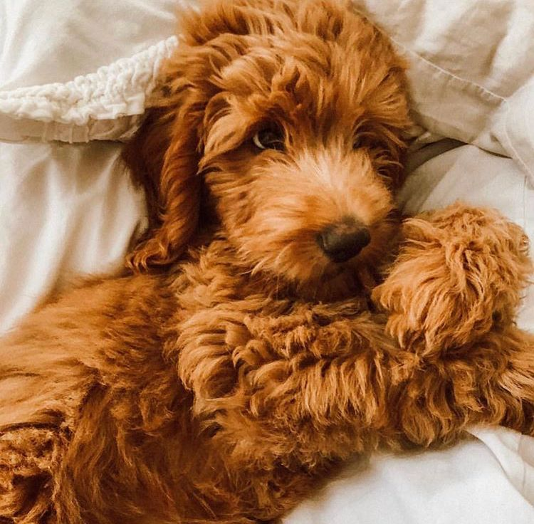 Pin By Kim Meade On Labradoodle Cute Dogs And Puppies Cute Baby Animals Goldendoodle