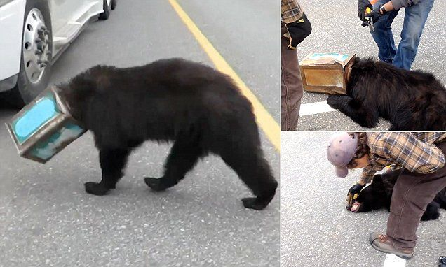 Randy Rallo captured footage of the 100lb bear, estimated to be around three years old, after it wandered onto the Alaska Highway near Tok with its head trapped firmly inside an antique coffee can.