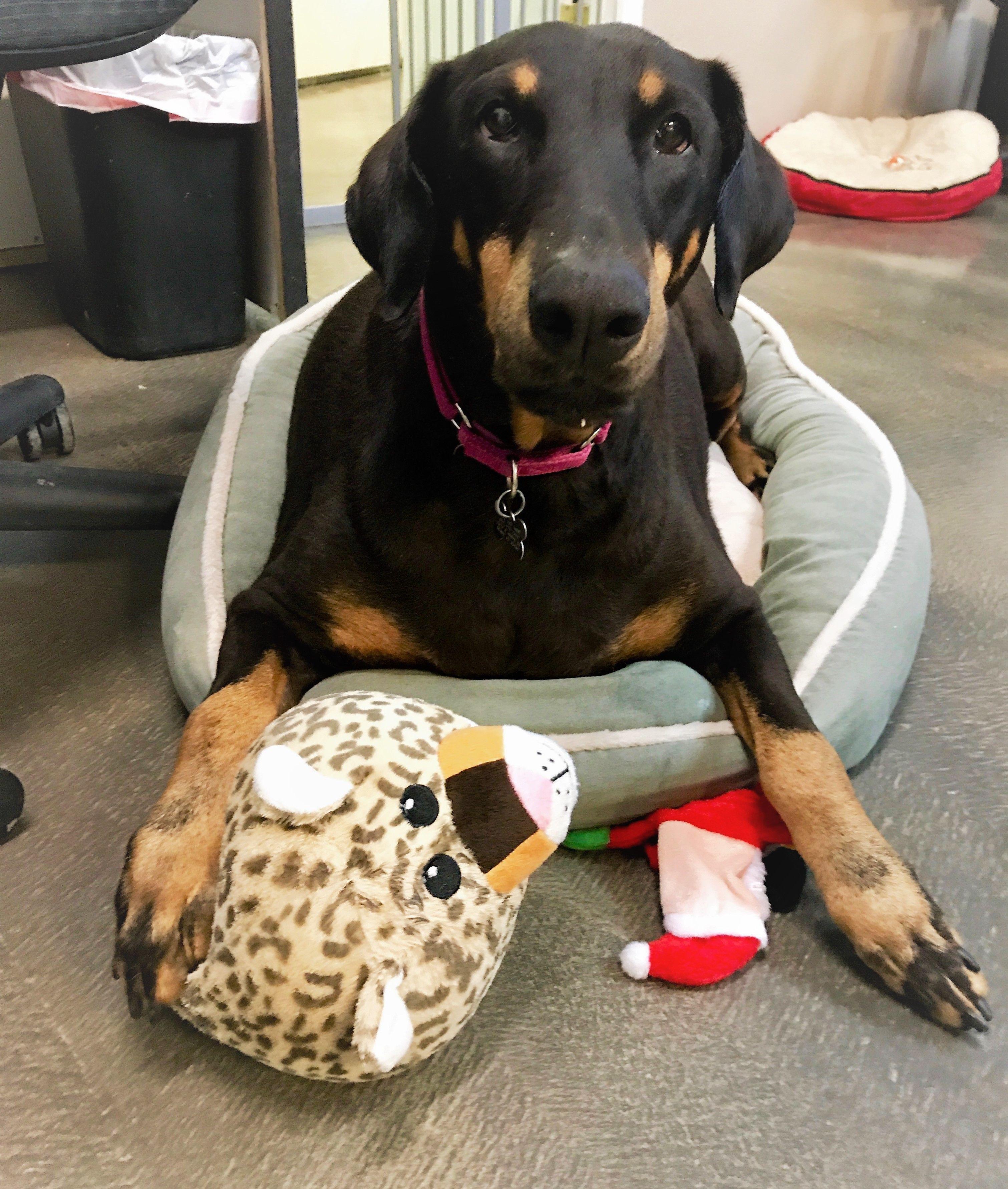 Doberman Pinscher dog for Adoption in Tempe, AZ. ADN