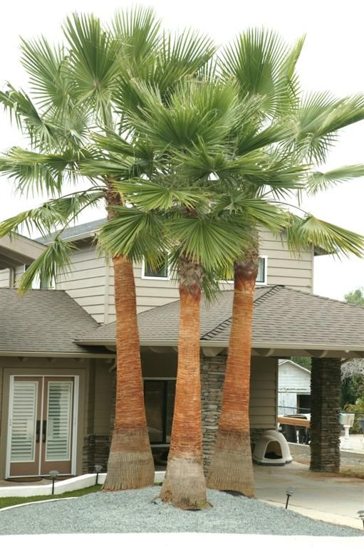 Washingtonia Robusta Newly Cleaned Palm Trees Landscaping Tropical Yard