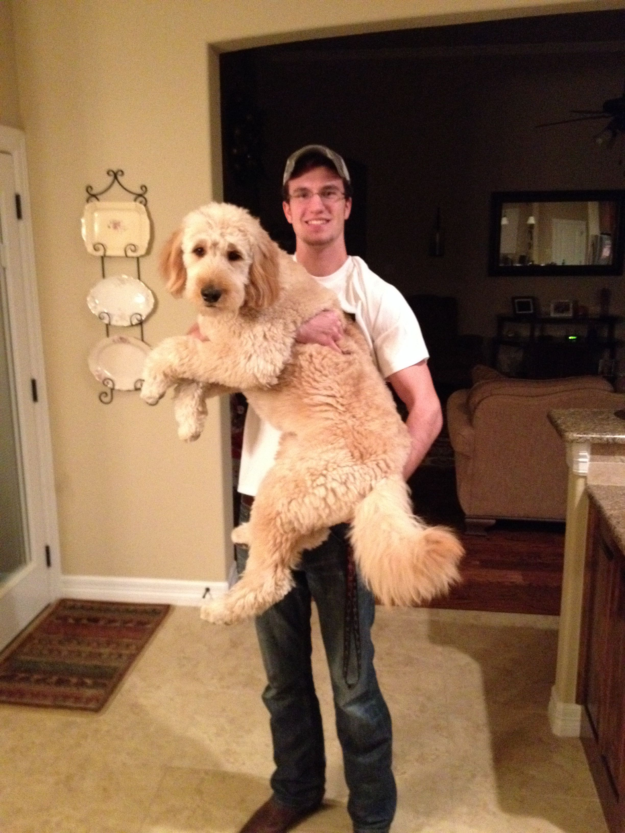 60 Pounds And 1 Year Old Love This Goldendoodle Goldendoodle