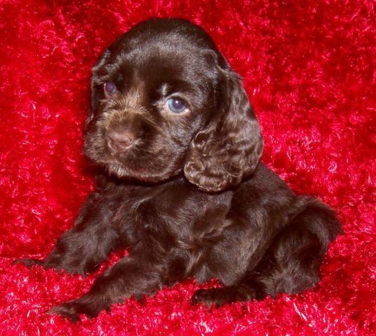chocolate american cocker spaniel puppies - Google Search ...