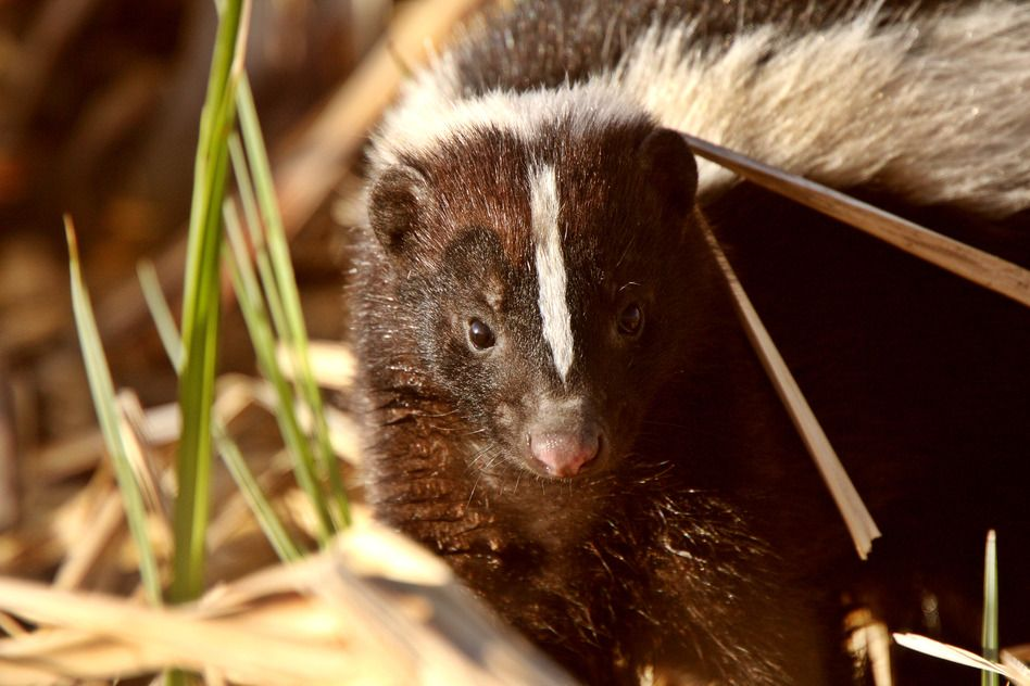 How to Get Rid of Skunks in Your Backyard? | Getting rid ...