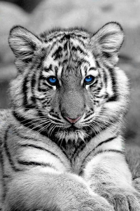 Blue Eye White Tiger Tiger Pictures White Tiger White Tiger Tattoo