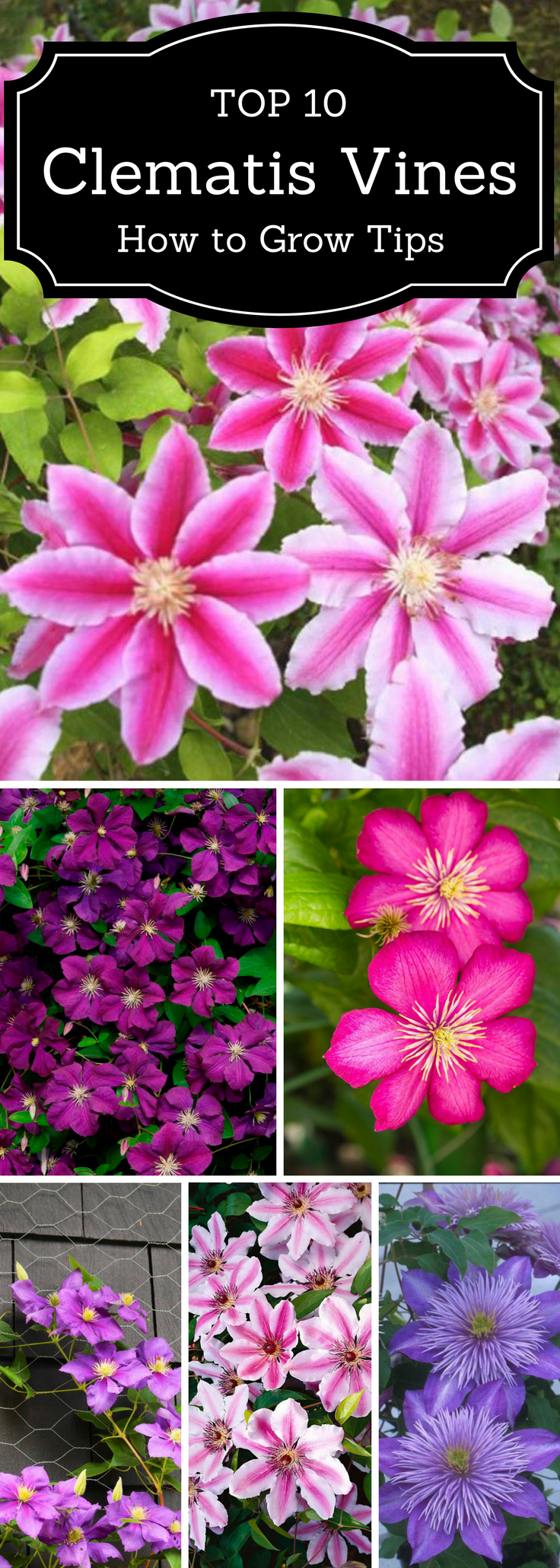 Top 10 Tips On Growing Gorgeous Clematis Vines Gardening