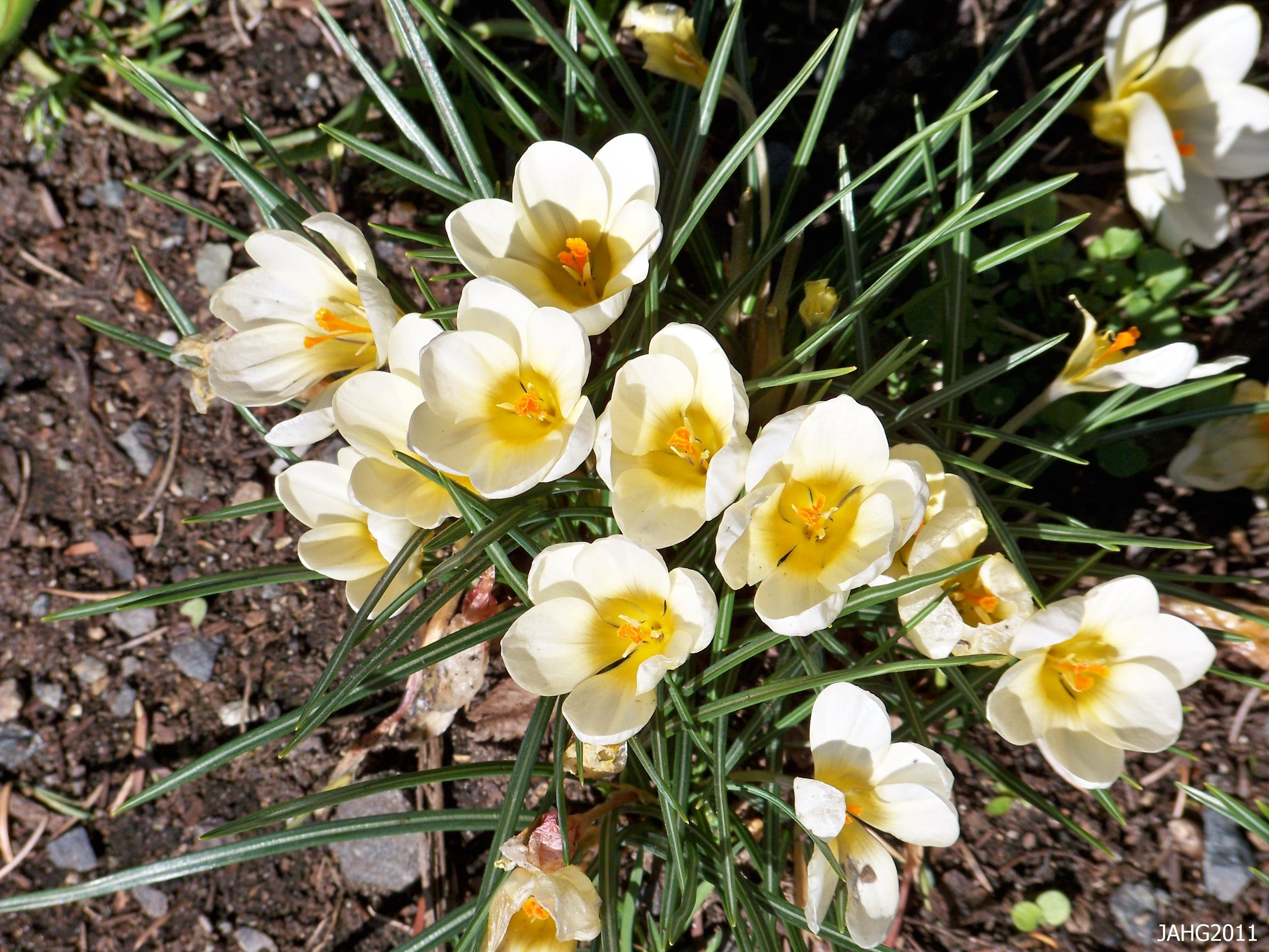 Yellow crocus flower snow image check out the free plant yellow crocus flower snow image check out the free plant identification mobile app at gardenanswers mightylinksfo