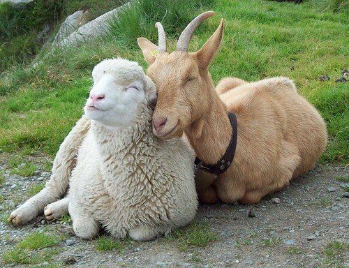 Sheep and goat. they look so happy