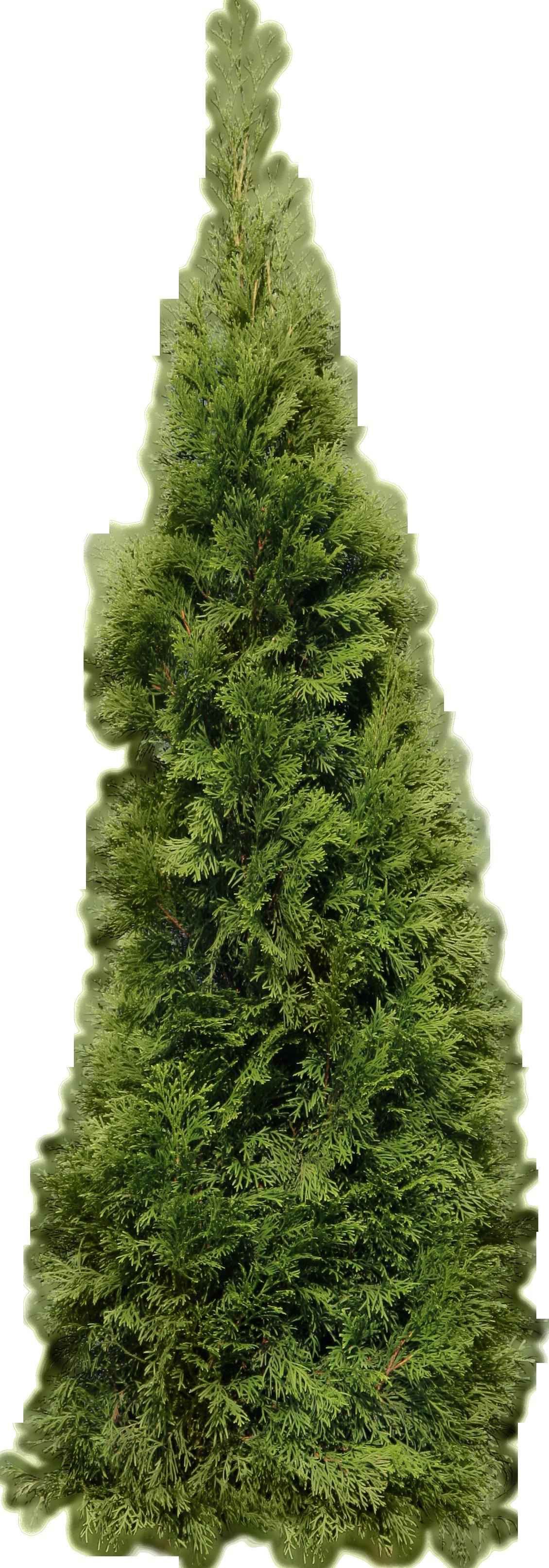 Green Big Fir Tree Png Image Big Firtree Green Image Png Garden Images Fir Tree Tree Psd