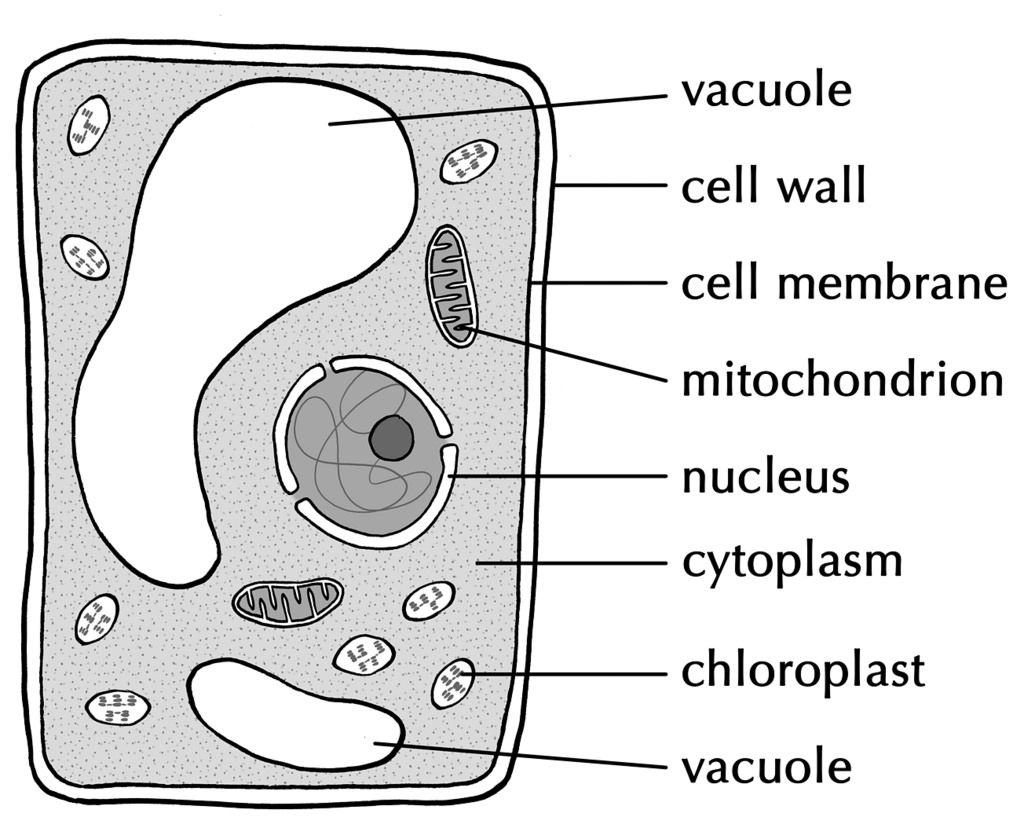 Simple Easy Plant Cell Diagram Animal 2000 Volvo S80 Engine Related Image Cells