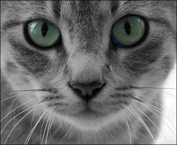 Tabby Cat Faces Echowind A Light Gray She Cat With Green Eyes When In The Moonlight Grey Cats Grey Tabby Kittens Cats