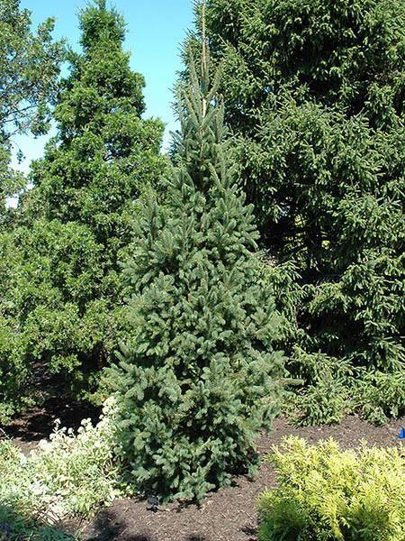 Picea Columnar Norway Spruce Calgary Plants Online