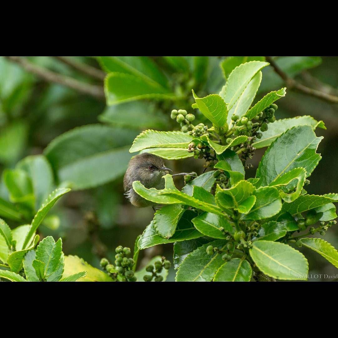 Tililit  Zosterops borbonicus borbonicus  #iledelareunion #reunionisland #montagne #reunion #gotoreunion #weare974 #team974 #bird #nature #nikon #mountains #animal #forest @tampon_tourisme by maillot_david_photo_974