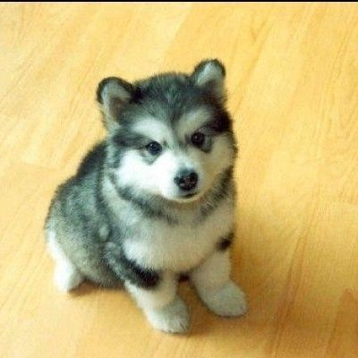 Pin By Chy Bluefang On Must Have Little Husky Cute Animals Puppies