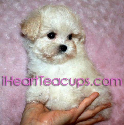 Meet Lil Jolly A Cream Colored Teacup Maltipoo Maltese Poodle