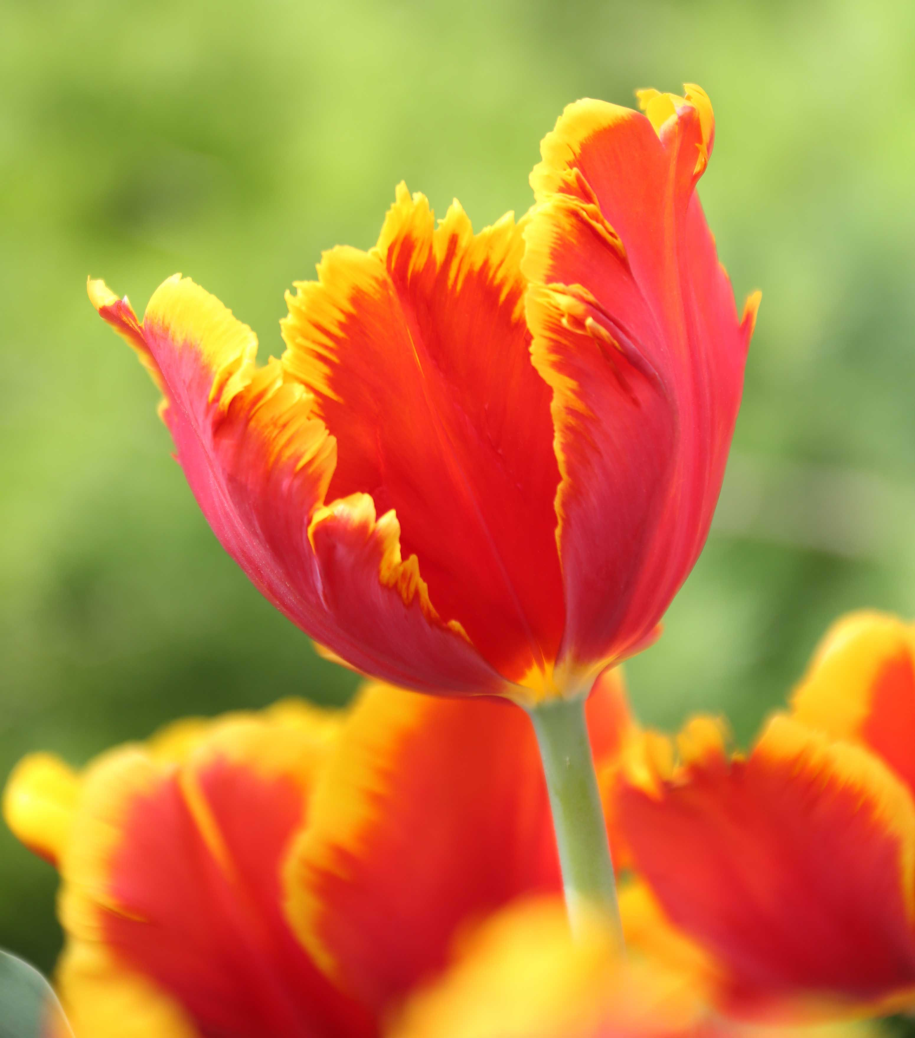 Parrot Tulips Bright Turn Heads With These Extra Large Their Petals Are A Swirl Of Canary Yellow And Tomato Red