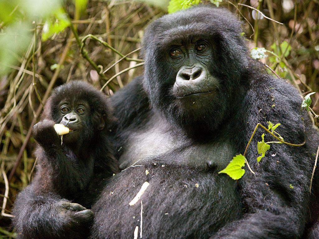 African mountain animals - Sabyinyo Silverback Lodge Rwanda Bucketlist Gorilla Trekking Rwanda Africa