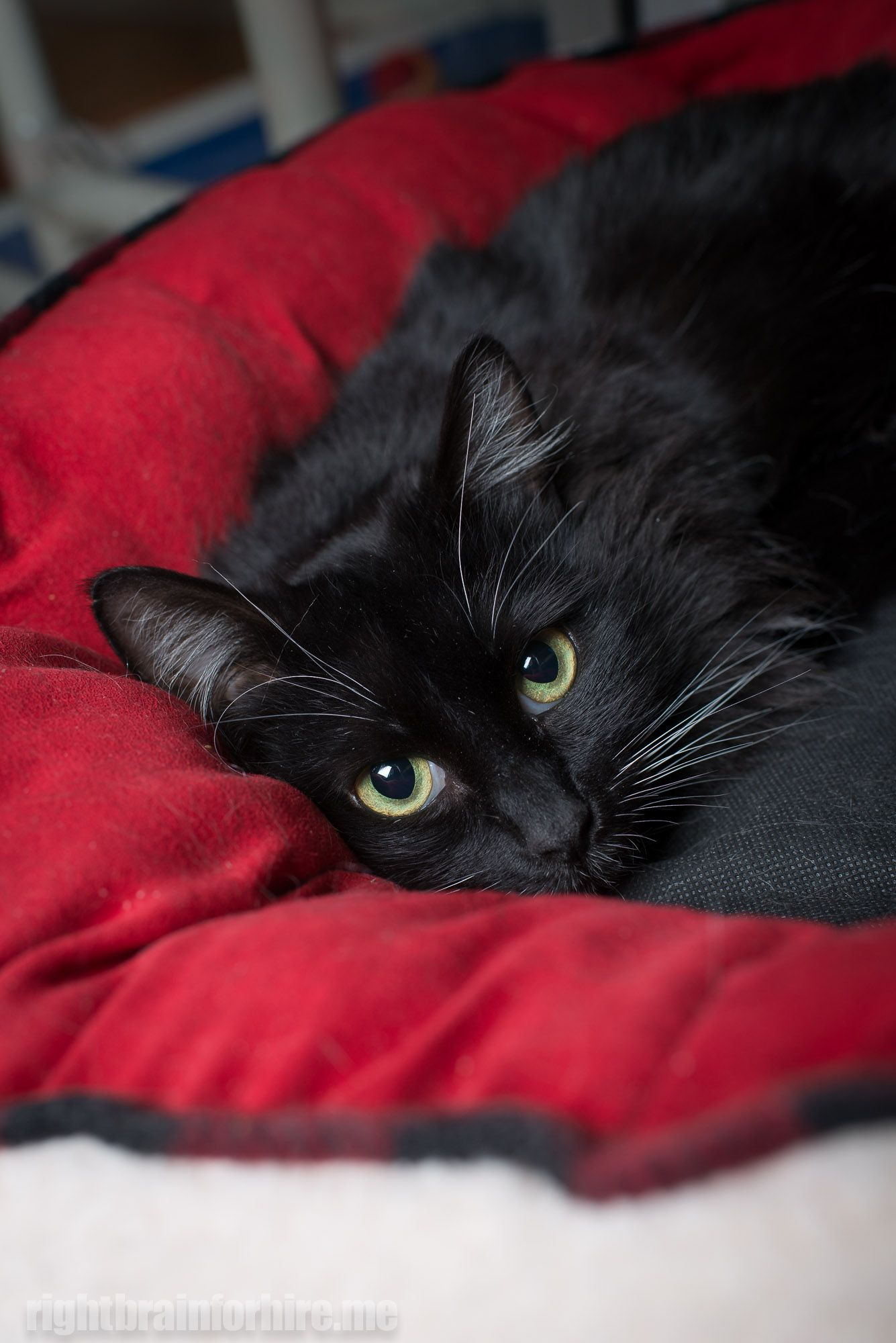 Update Adopted March 2014 Kitty Purry Is A Snuggle Bug With Long Black Fur And White Paws She Is Looking For A Home With Black Cat Aesthetic Cats White Cats