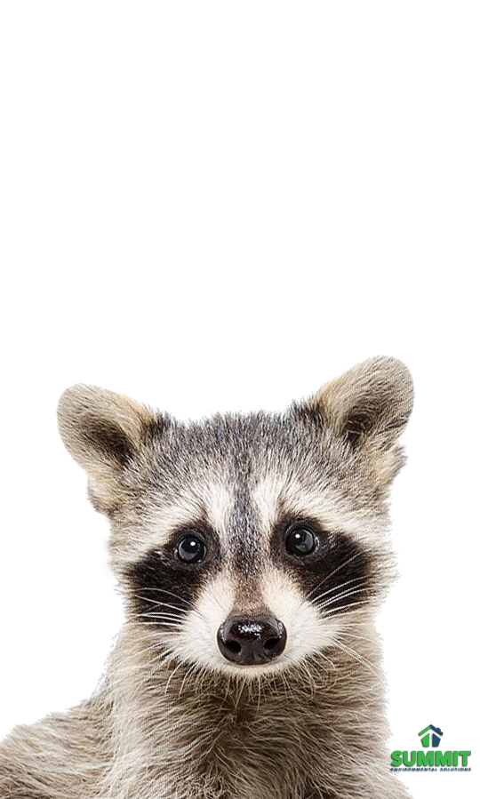 Pin On Raccoons Are Cute Until You Have To Remove Them From Your Attic