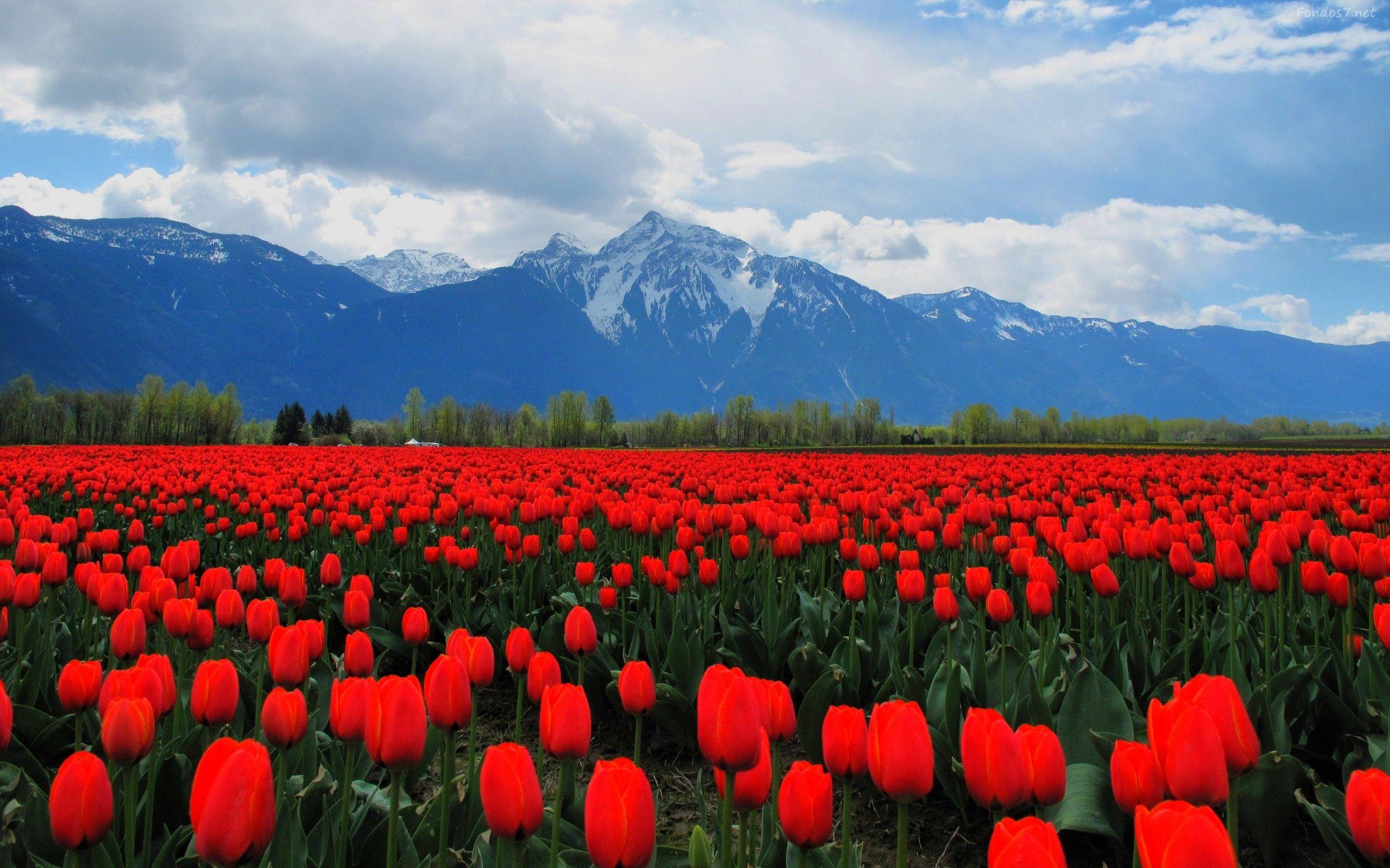 Wallpapers Rosas Rojas: Rosas Rojas Jardin De Tulipanes Hd Widescreen Gratis