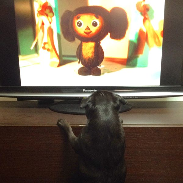 Coco watching tv #pug