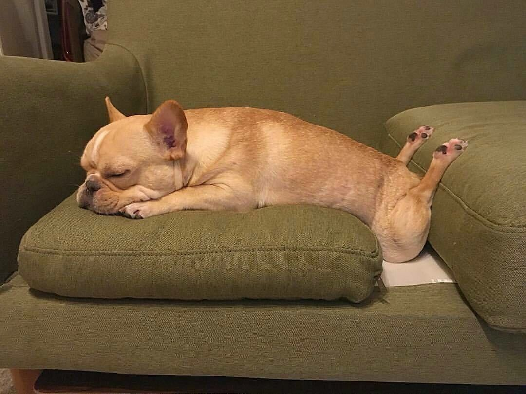 Only a french bulldog can sleep like this puppy love